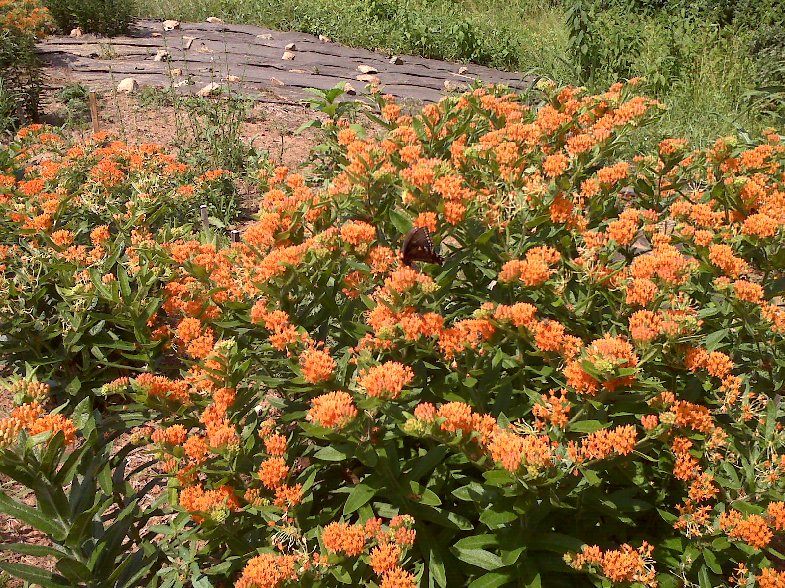 Ivy Creek butterfly weed summer 2010